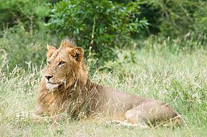 A Lion in Kruger National Park, South Africa