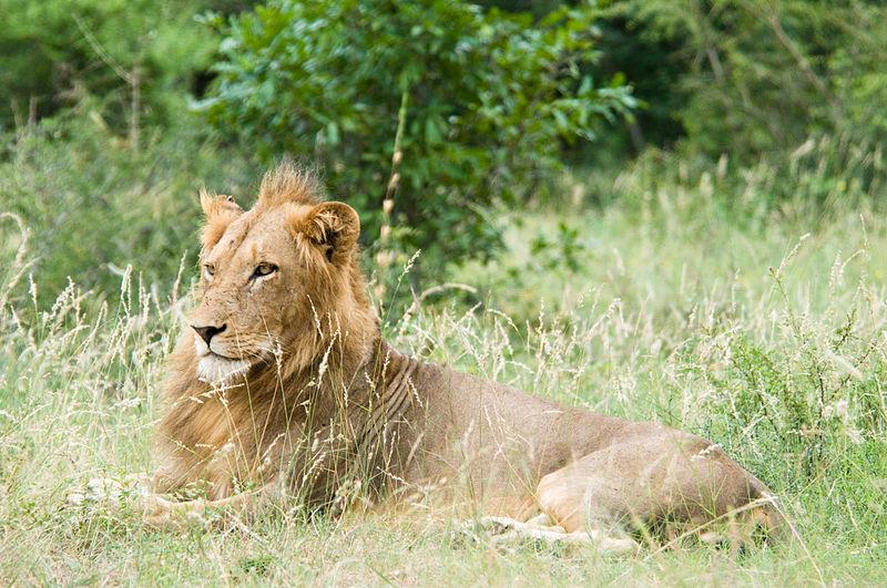 Datei:Lion Kruger National Park.jpg