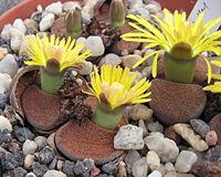 Lithops lesliei ssp. lesliei v. mariae Cole 141 01