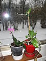 Little orchid D1301 and snow.jpg