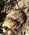 Lizard (530933726).jpg