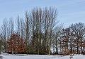Locatie, De Famberhorst. Zwarte populieren (Populus nigra) 03.jpg