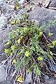 Lomatium grayi 4.jpg