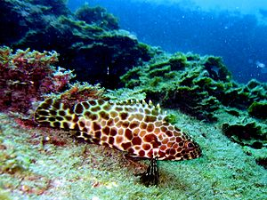 Longfin grouper - Image: Longfin grouper by Vincent C Chen