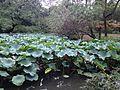 Lotus in Zhuozhengyuan Garden 2.JPG
