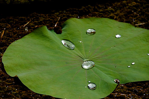 Lotus leaf with waterdrops