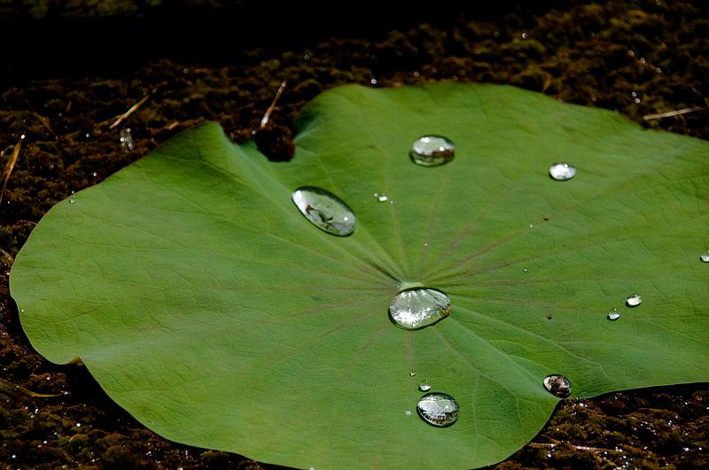 File:Lotus leaf with waterdrops.jpg