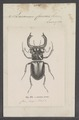Lucanus - Print - Iconographia Zoologica - Special Collections University of Amsterdam - UBAINV0274 018 13 0010.tif