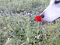 Luna White Pyriness dog smells red flowers 01.jpg