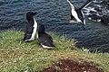 Lunga Treshnish Isles Alca torda 4.jpg