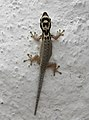 Lygodactylus picturatus or mombasicus 2.jpg