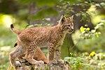 Lynx lynx cub 20050709. jpg