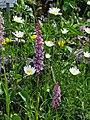 Mücken-Händelwurz (Gymnadenia conopsea) u. Margeriten.jpg