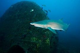 MNMS - Caribsea Boiler And Sand Tiger Shark (31361237602).jpg