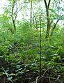 MOs810, WG 2014 48, powiat obornicki, rezerwat Dolega, Skrzyp olbrzymi, Equisetum telmateia (2).JPG