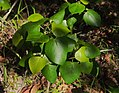 Macaranga involucrata var. mallotoides foliage.jpg
