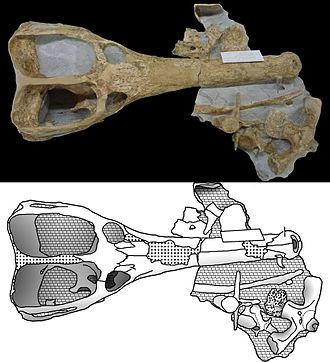 Machimosaurus - Skull