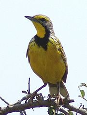 The unrelated Yellow-throated Longclaw (Macronyx croceus) from Africa looks identical at first glance.