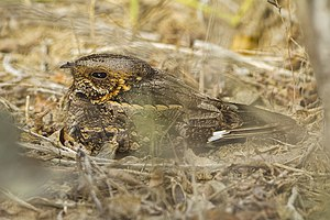 Nightjar - The Madagascan nightjar is restricted to the islands of Madagascar and the Seychelles