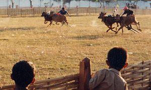 Karapan sapi - The race on 1999