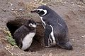 Magellanic Penguin adult and chick (4313168642).jpg