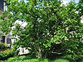 Magnolia x soulangeana 02 by Line1.jpg