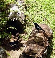 Magpie robins (Copsychus Sechellarum) on Cousine, Seychelles