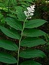 Maianthemum racemosum 10180