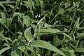 Maianthemum stellatum 9447.JPG
