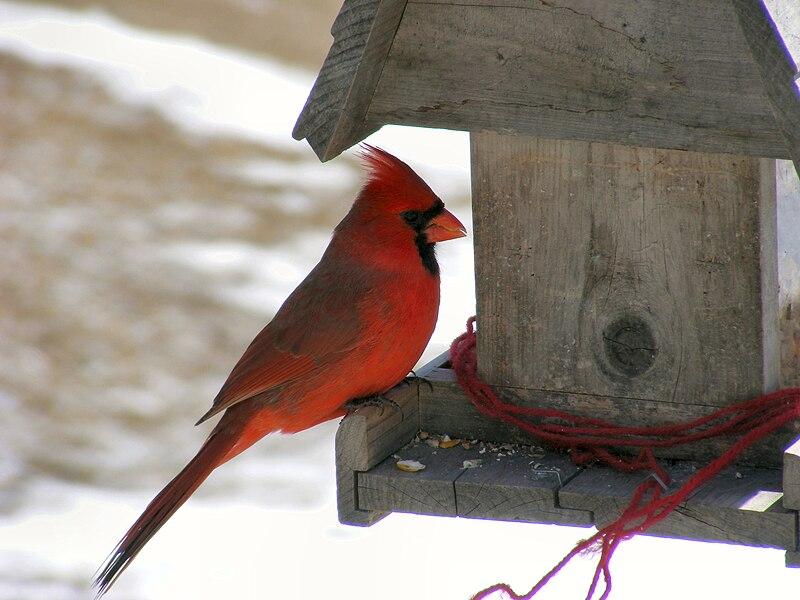 File:Male Northern Cardinal At Feeder.jpg