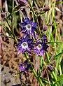 Malesherbia linearifolia (8630024441).jpg