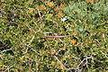 Malta - Mgarr - Ghain Tuffieha - Il-Karraba - Periploca angustifolia 01 ies.jpg