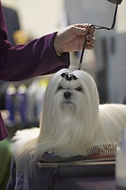A professionally groomed Maltese.