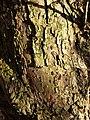 Malus dasyphylla sl29.jpg