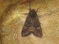 Mamestra brassicae - Cabbage moth - Совка капустная (40181213765).jpg