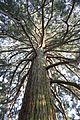Mammutbaum, Weilburgpark, Baden 03.jpg