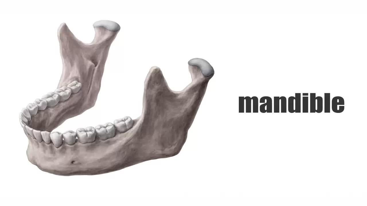 File:Mandible (preview) - Human Anatomy Kenhub 1.webm - Wikimedia ...