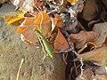 Mantis religiosa Marisorgin bat orbelean 4.jpg