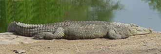 Manyuchi Dam - A Nile Crocodile lounging in the sun on the edge of the dam