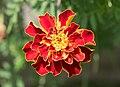 Marigold (13392).jpg