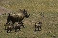 Masai Mara National Reserve 18 - common warthog (Phacochoerus africanus).jpg