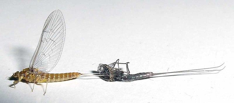 File:Mayfly ecdysis.jpg