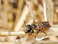 Megachile albisecta female 1.jpg