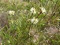 Melaleuca borealis 01.JPG