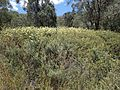 Melaleuca pityoides habit (near New England National Park).jpg