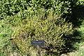 Melaleuca thymifolia - Jardín Botánico de Barcelona - Barcelona, Spain - DSC08918.JPG