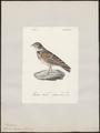Melanocorypha calandra - 1842-1848 - Print - Iconographia Zoologica - Special Collections University of Amsterdam - UBA01 IZ16100345.tif