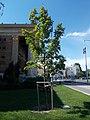 Memorial tree, Heroes' Square, 2020 Zugló.jpg