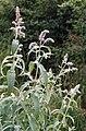 Mentha longifolia 1.jpg