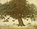 "Michael E. Arth ""Quercus virginiana,"" etching, 1975.jpg"